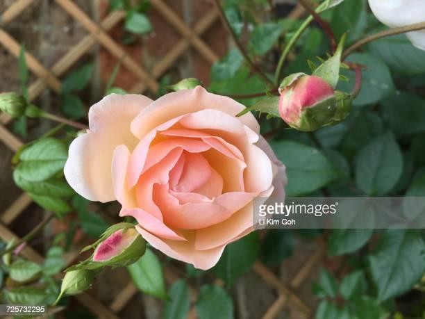 flower power - kim rose stock-fotos und bilder