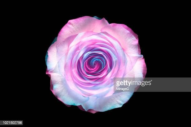 flower recombination - zweifarbig farbe stock-fotos und bilder