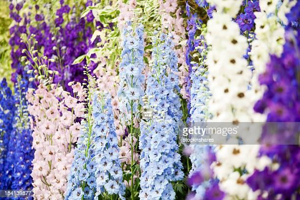 Flower Show Delphiniums
