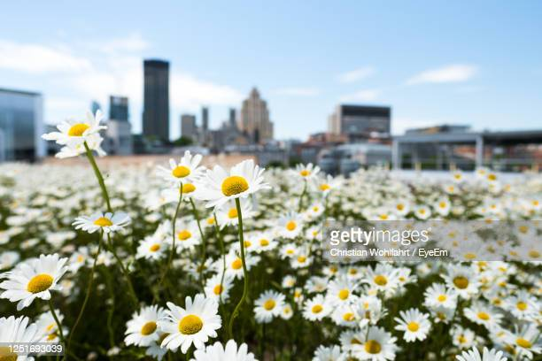 flower skyline - quebec stock pictures, royalty-free photos & images
