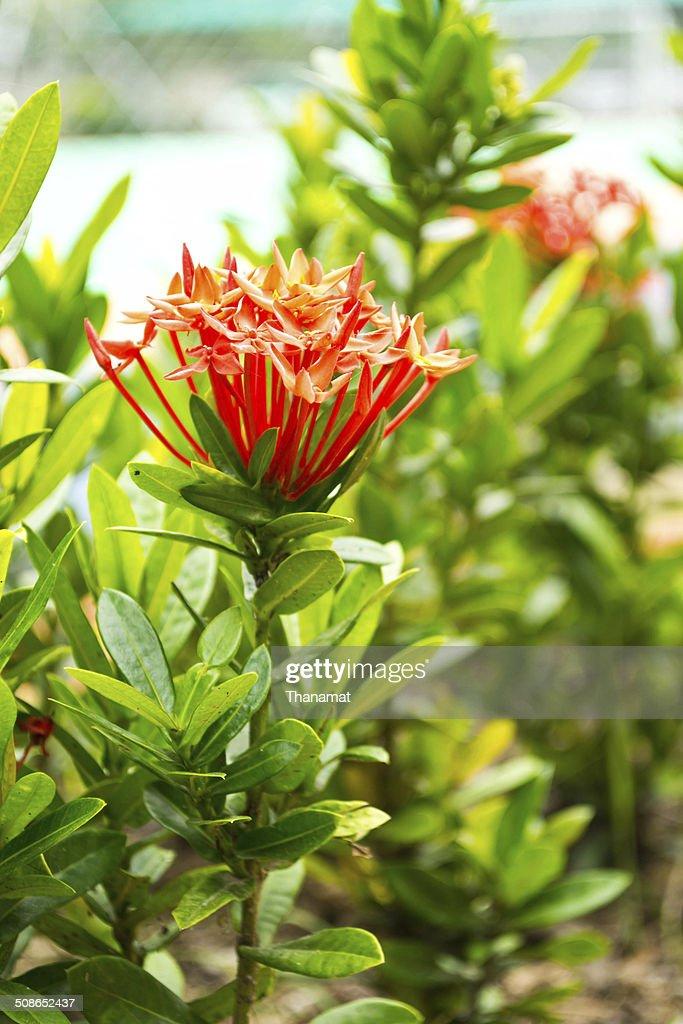 Flower spike : Stock Photo