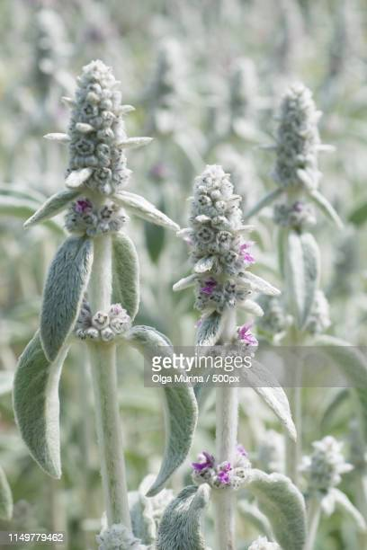 flower stachys byzantine - byzantine stock photos and pictures
