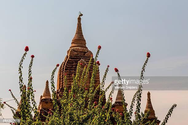 flower tree in front of buddhist temple - merten snijders stockfoto's en -beelden