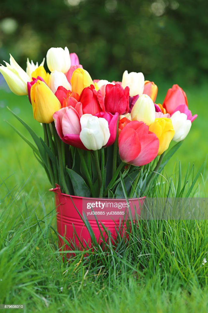 Flower tulip bouquet of colorful bright spring tulips in a pink flower tulip bouquet of colorful bright spring tulips in a pink bucket on a green mightylinksfo