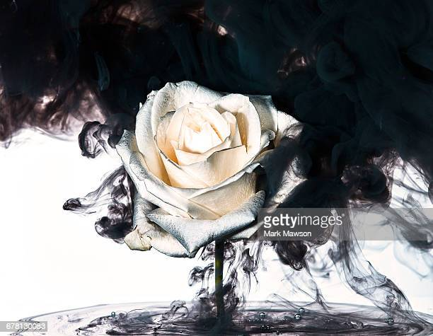 flower underwater - black rose stock pictures, royalty-free photos & images