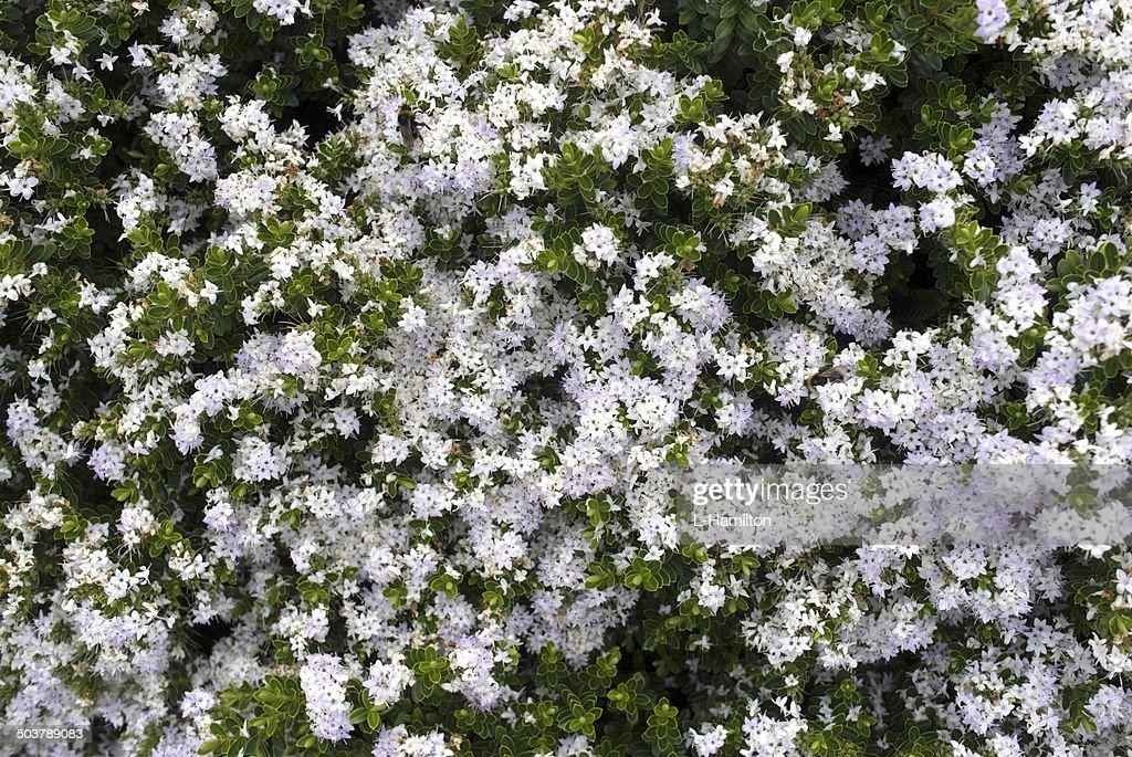 Flower white flower bush stock photo getty images flower white flower bush stock photo mightylinksfo