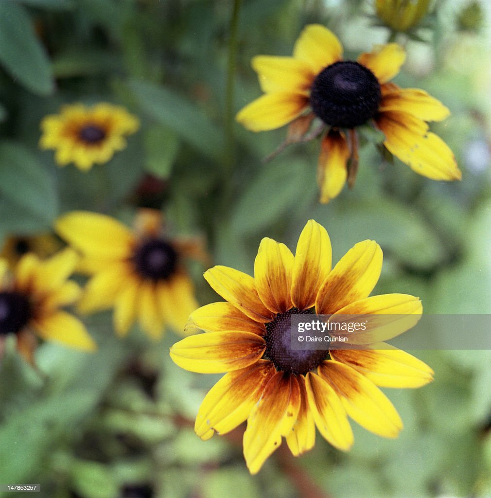 Flower With Bright Orange Petals Black Center Stock Photo Getty Images