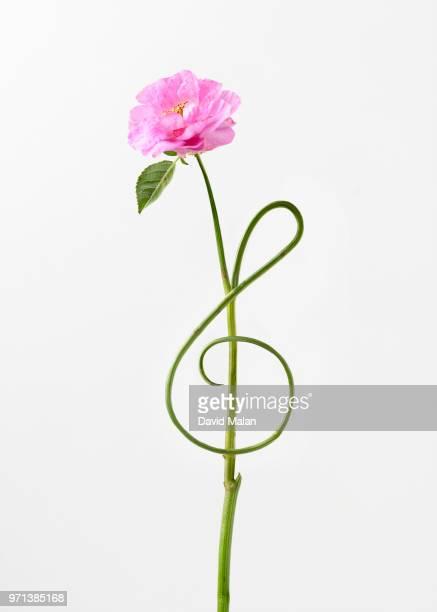 flower with stem forming the shape of a treble clef symbol. - clave de sol fotografías e imágenes de stock