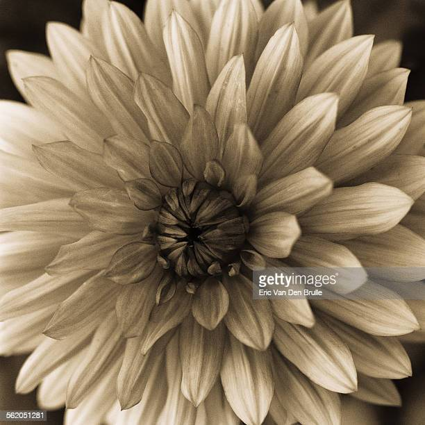 flower with symmetrical petals - eric van den brulle stock pictures, royalty-free photos & images