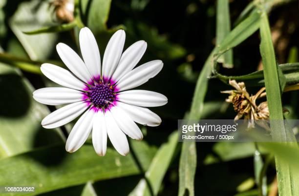 flower with white petals - angelica gomes fotografías e imágenes de stock