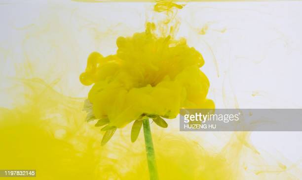 flower with yellow ink splashes in water - liscio foto e immagini stock