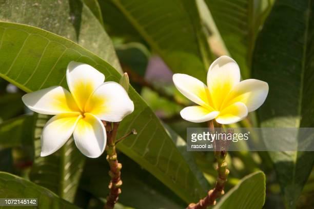 Flower yasmine indian