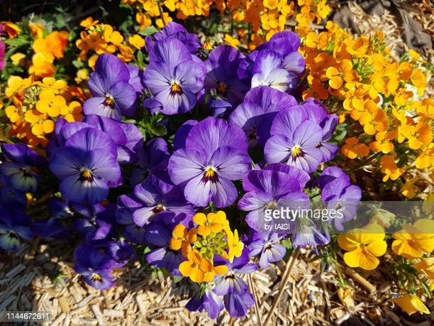 a flowerbed of purple pansy flowers surrounded with yellow flowers and mulch for soil protection - mulch stock pictures, royalty-free photos & images
