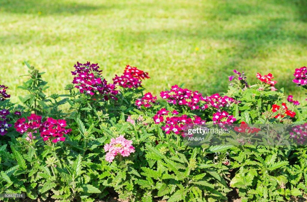 Blumenbeet. Lila Blumen : Stock-Foto