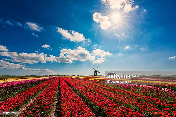 flowerfields in spring in schermerhorn netherlands - noord holland stockfoto's en -beelden