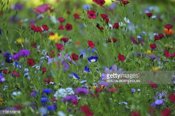 Flowerfilled meadow detail Rothenburg ob der Tauber Bavaria Germany