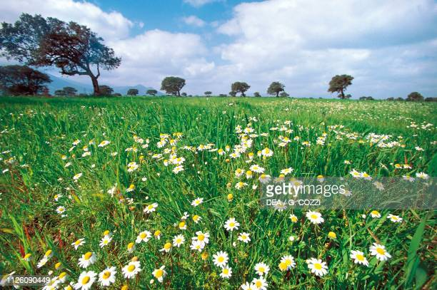 Flowerfilled meadow near Villacidro Campidano Sardinia Italy
