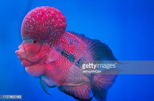Flowerhorn Cichlid Fish Colorful Fish Swimming In The Aquarium This