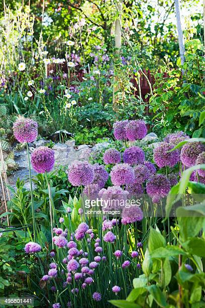 Flowering allium in garden, Stockholm, Sweden