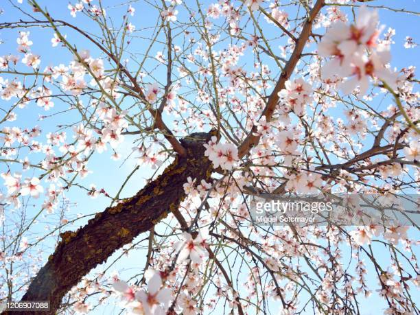 flowering almond fields - almond stock pictures, royalty-free photos & images