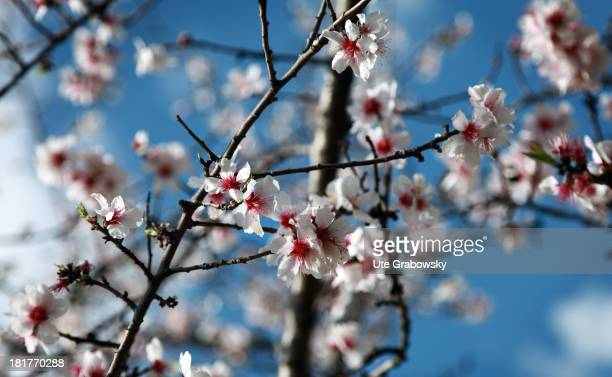 Flowering almond tree in the Retiro Park