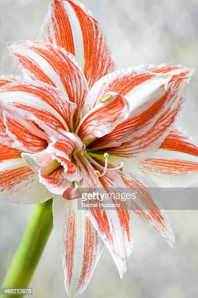 Flowering amaryllis against mottled background