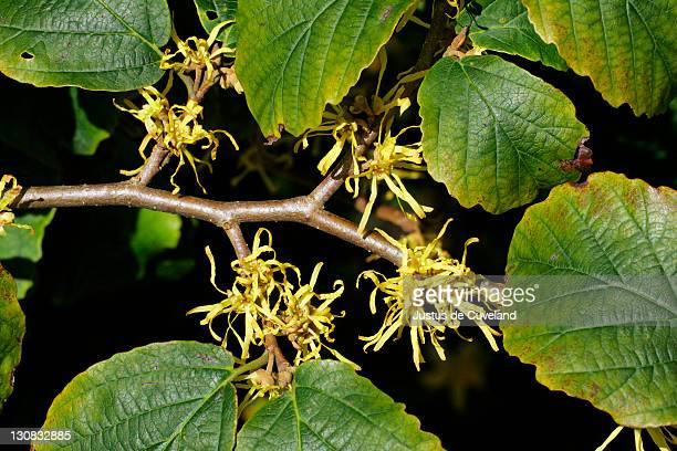 American Witch Hazels Stock Pictures Royalty Free Photos Images