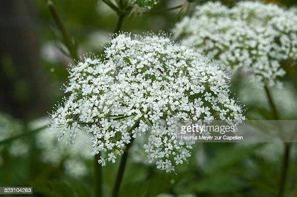 Flowering Ashweed or Ground Elder -Aegopodium podagraria-