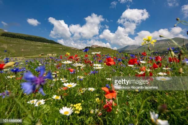 flowering at castelluccio di norcia, umbria, italy - iacomino italy foto e immagini stock