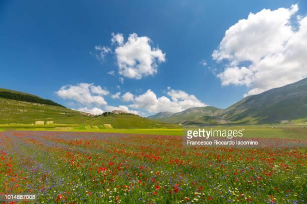 flowering at castelluccio di norcia, umbria, italy - 台地 ストックフォトと画像
