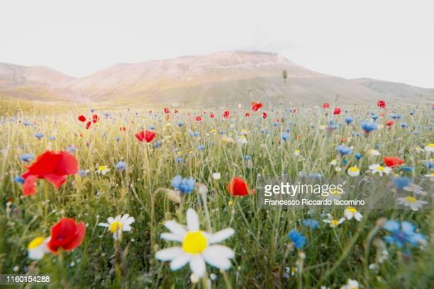 flowering at castelluccio di norcia, umbria, italy. wildflowers in piana grande - altopiano foto e immagini stock