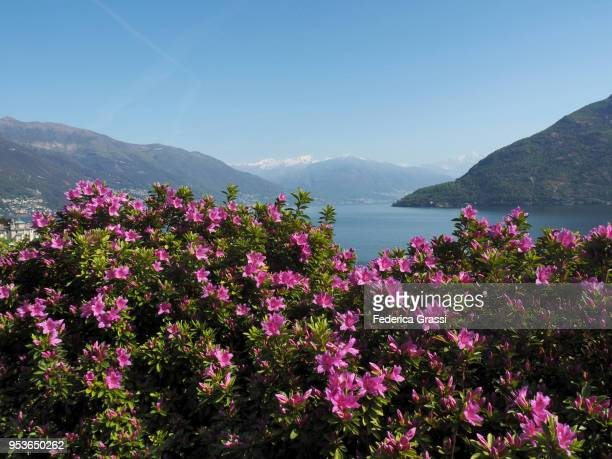 flowering azaleas, lake maggiore, northern italy - azalea stock pictures, royalty-free photos & images
