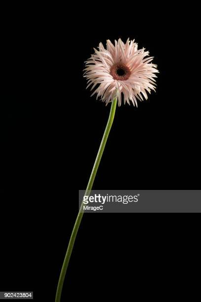 flowering barberton plant on black background - long stem flowers stock pictures, royalty-free photos & images
