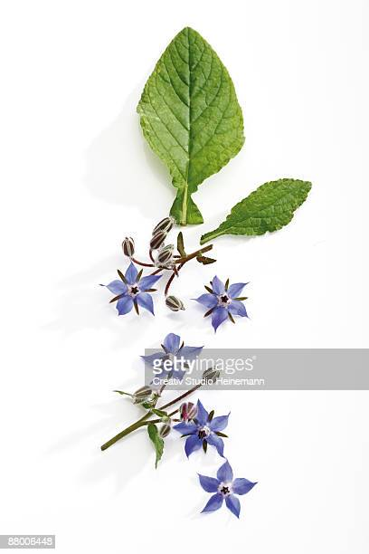 Borage with flowers (Borago officinalis), elevated view