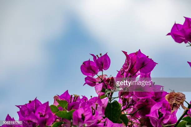 flowering bougainvillea against blue sky in a sunny day - tropical bush stock photos and pictures