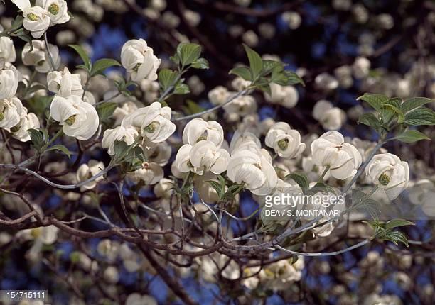Flowering branch of Flowering dogwood Cornaceae