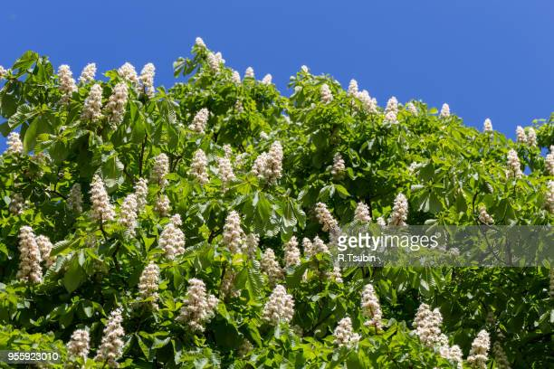flowering branches of chestnut tree on blue sky - castanea sativa - picture of a buckeye tree stock photos and pictures