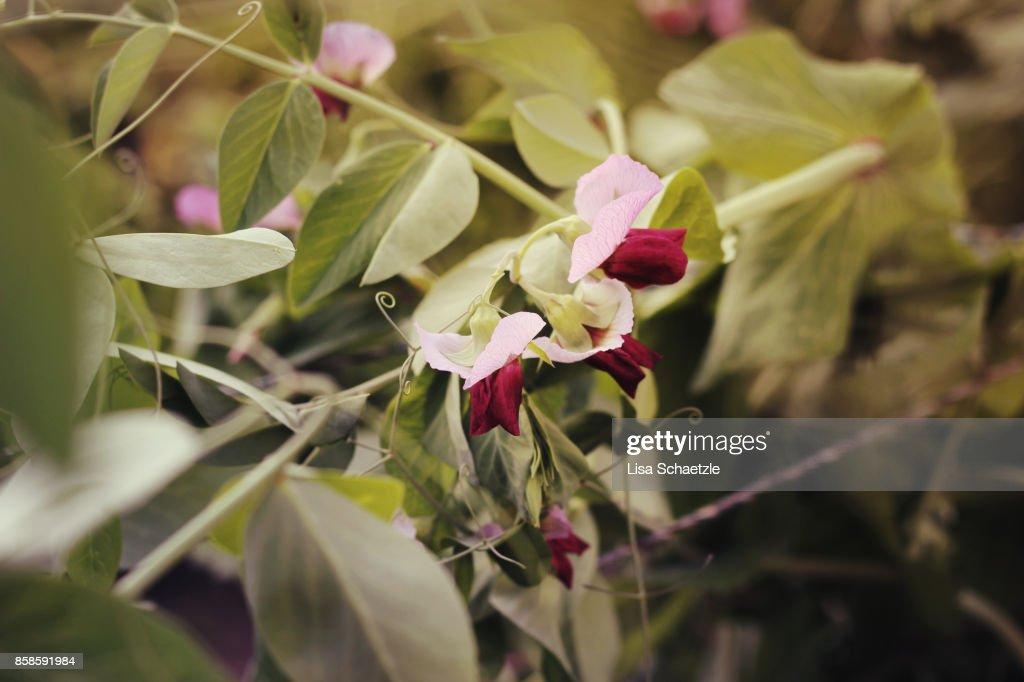 Flowering bush beans : Stock-Foto