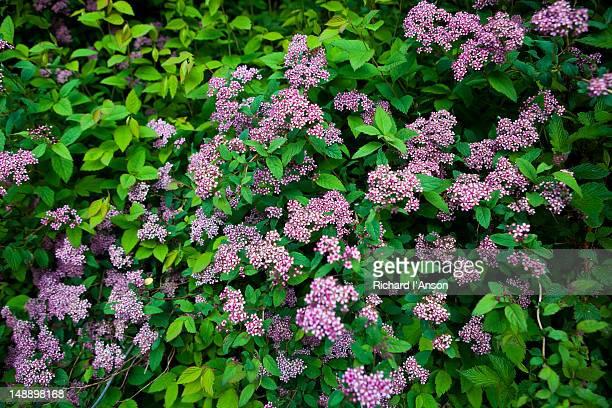Flowering bush in Bhyundar Valley.