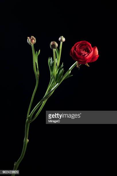 flowering buttercup on black background - long stem flowers stock pictures, royalty-free photos & images