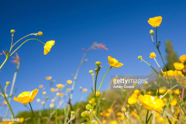flowering buttercups - yellow stock pictures, royalty-free photos & images