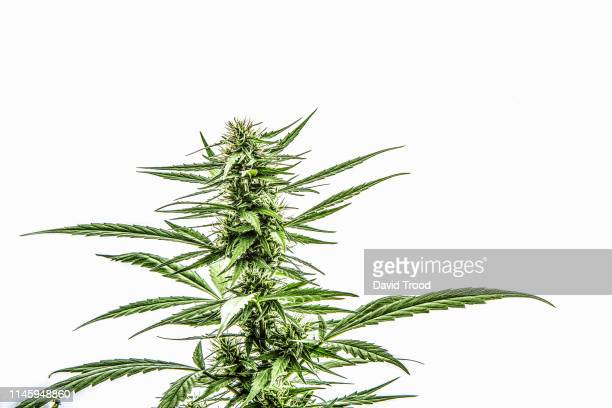 flowering cannabis plant - hemp stock pictures, royalty-free photos & images