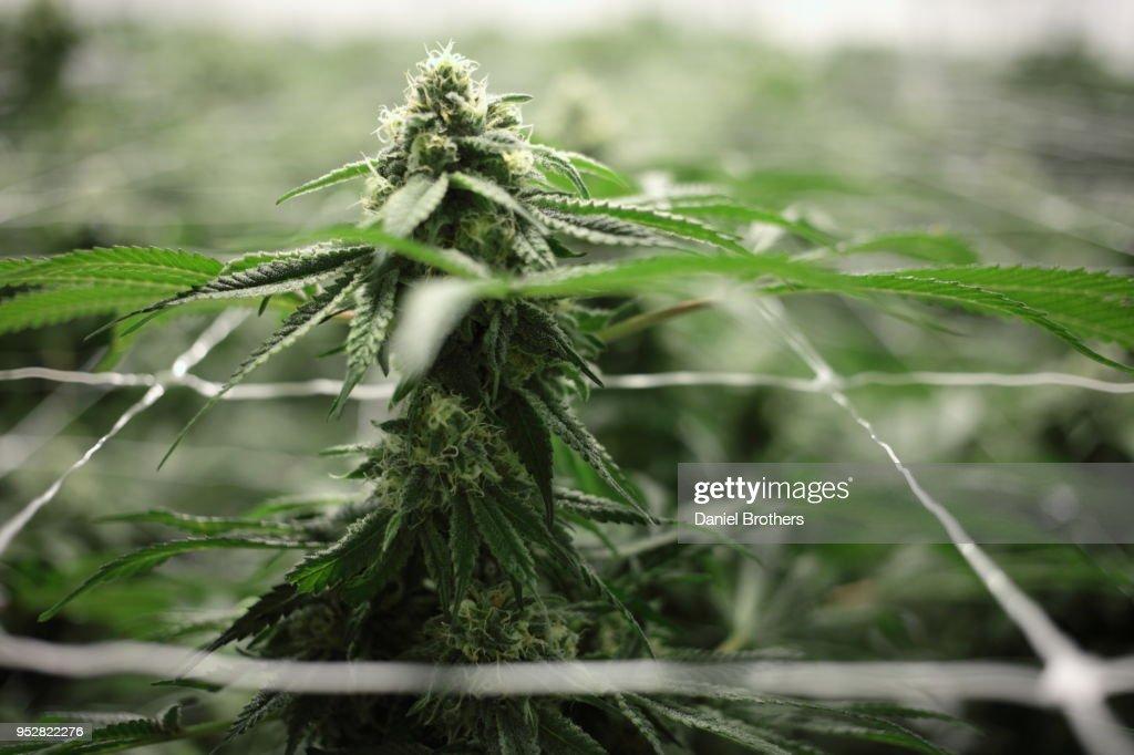 Flowering Cannabis Plants in an Indoor Farm : Foto de stock