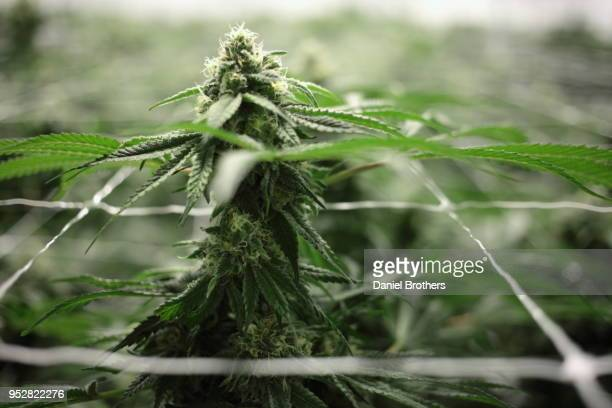flowering cannabis plants in an indoor farm - hemp stock pictures, royalty-free photos & images