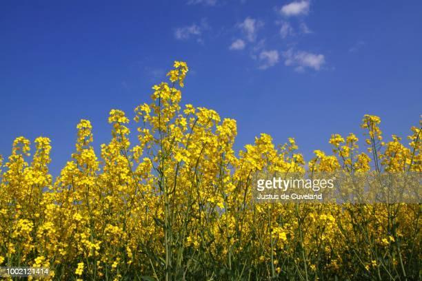 Flowering canola in a rape field, (Brassica napus), Schleswig-Holstein, Germany