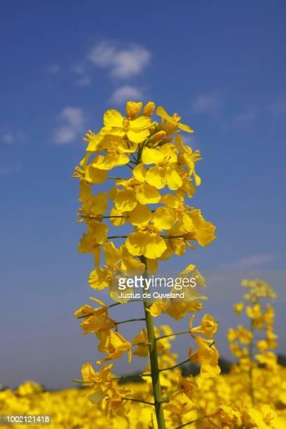 flowering canola in a rape field, (brassica napus), schleswig-holstein, germany - brassica napus l - fotografias e filmes do acervo
