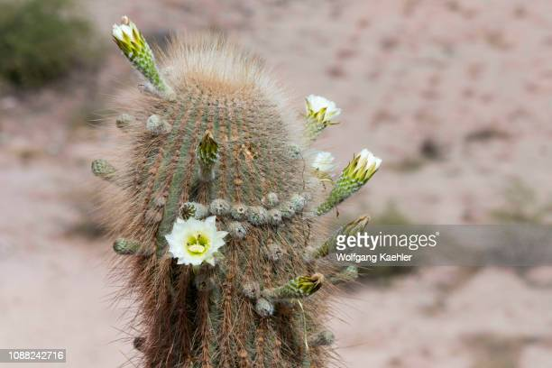Flowering Cardon cacti at the colorful rock formations in the Andes Mountains in Purmamarca, Jujuy Province, Argentina.