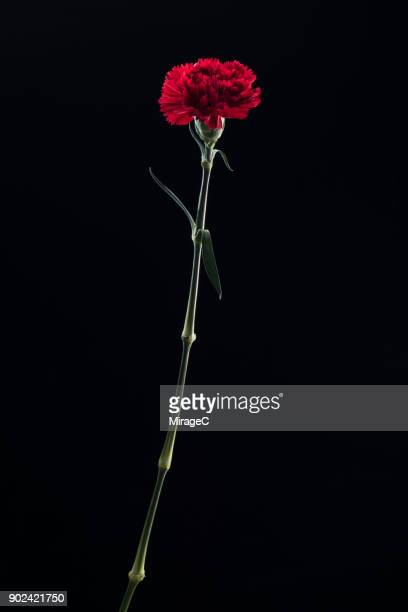 flowering carnation plant on black background - carnation flower stock pictures, royalty-free photos & images