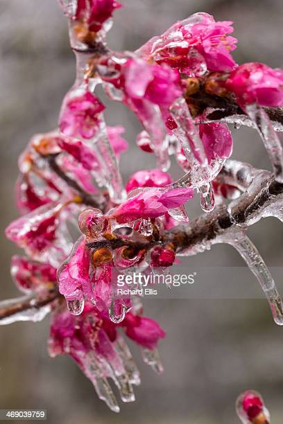 A flowering cherry tree is frozen in midbloom after a rare winter ice storm swept across the South February 12 2014 in Summerville South Carolina...