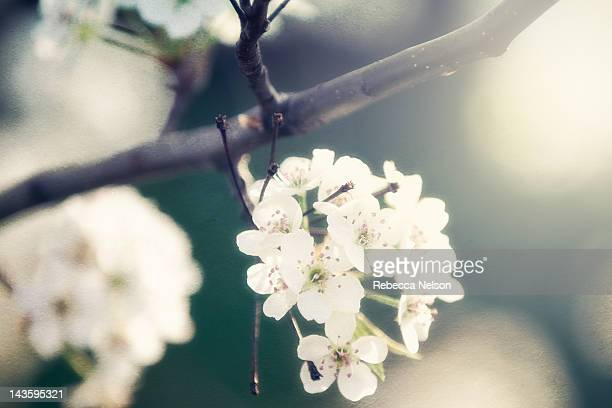 flowering cherry tree - rebecca nelson stock pictures, royalty-free photos & images